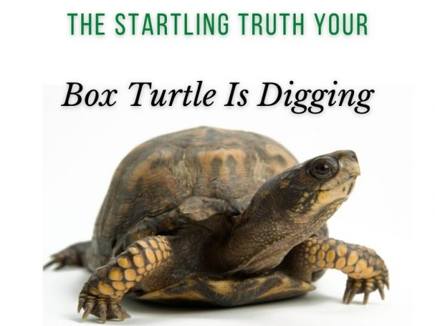 The Startling Truth Why Your Box Turtle is Digging Main Picture