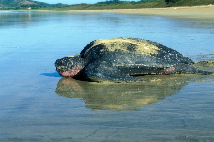 This is the Thrilling Leatherback Sea Turtle featured image
