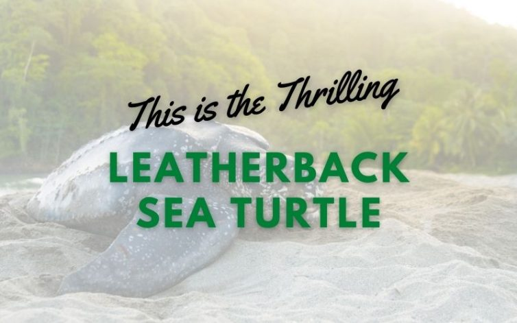 This is the Thrilling Leatherback Sea Turtle main pic