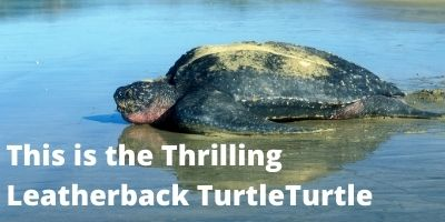 Thrilling Leatherback Turtle Link Picture