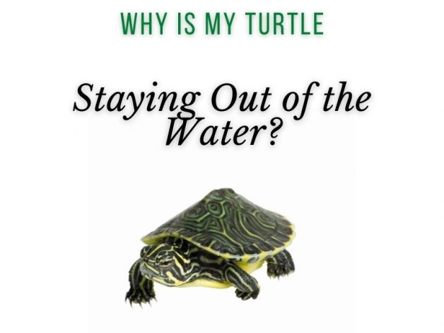 Why is My Turtle Staying Out of the Water Main Picture