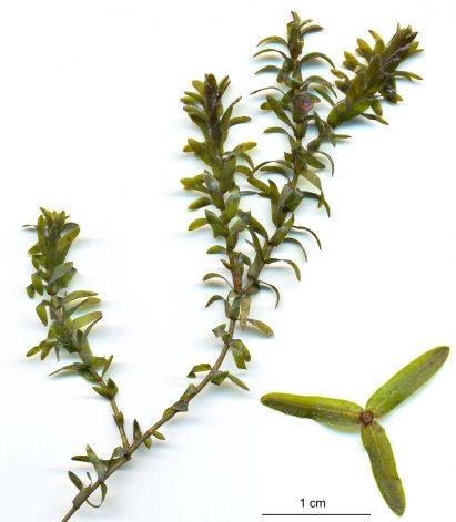 Anacharis Bunch plant for turtle