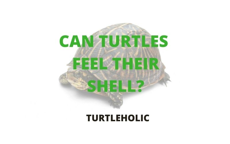 can a turtle feel their shell