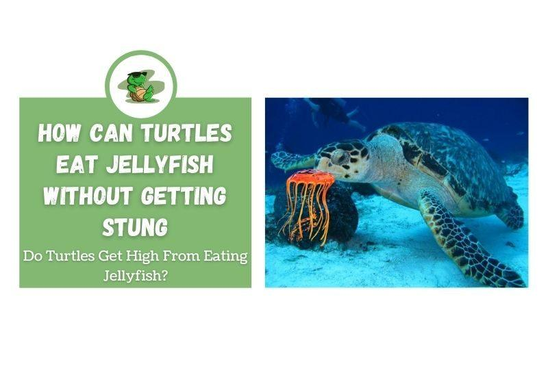 How Can Turtles Eat Jellyfish Without Getting Stung do turtles get high from jellyfish