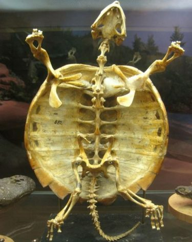 What does the inside of a turtle shell look like