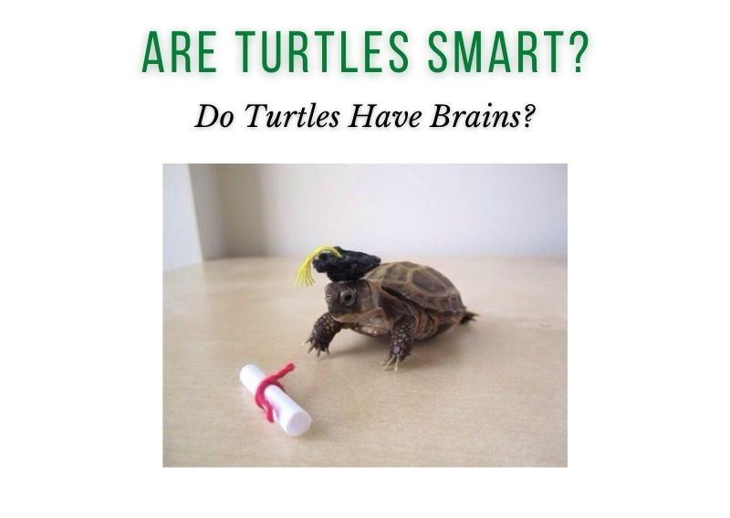 do turtles have brains