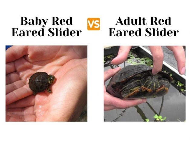 baby red eared slider next to adult red eared slider