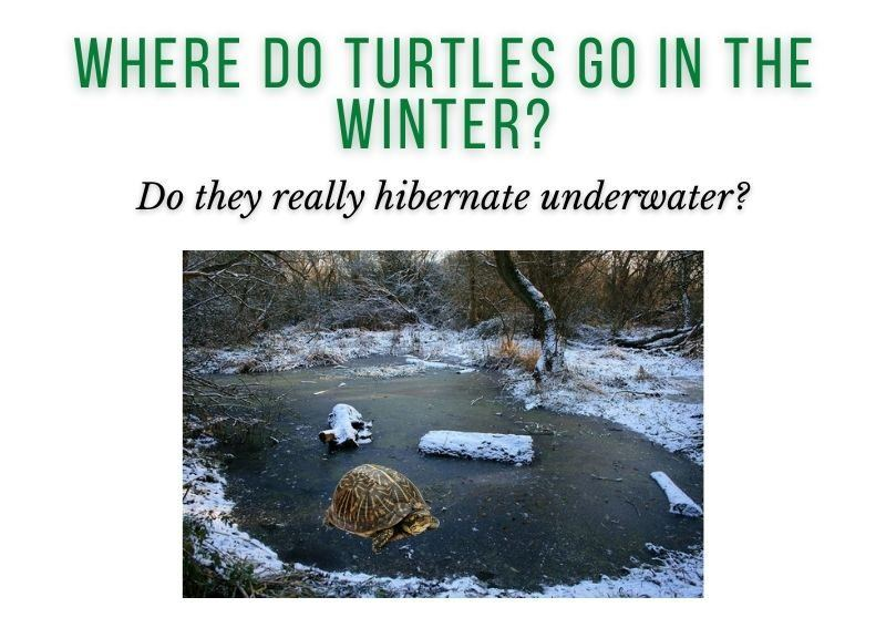 Where Do Turtles Go in the Winter