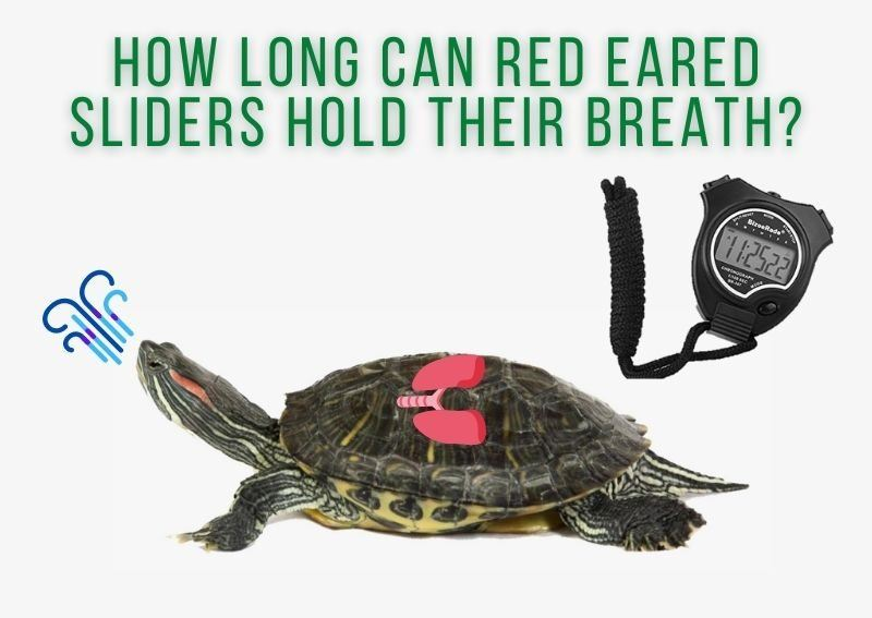 How Long Can Red Eared Sliders Hold Their Breath?
