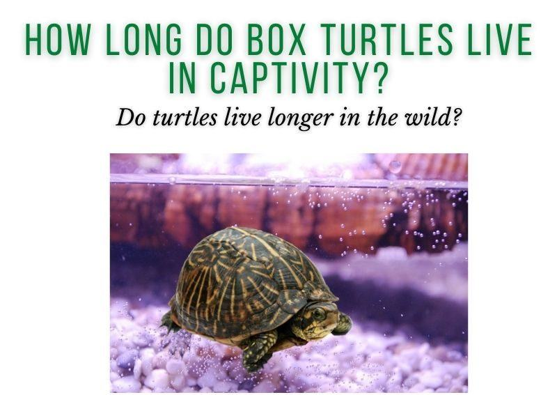 How Long Do Box Turtles Live in Captivity?