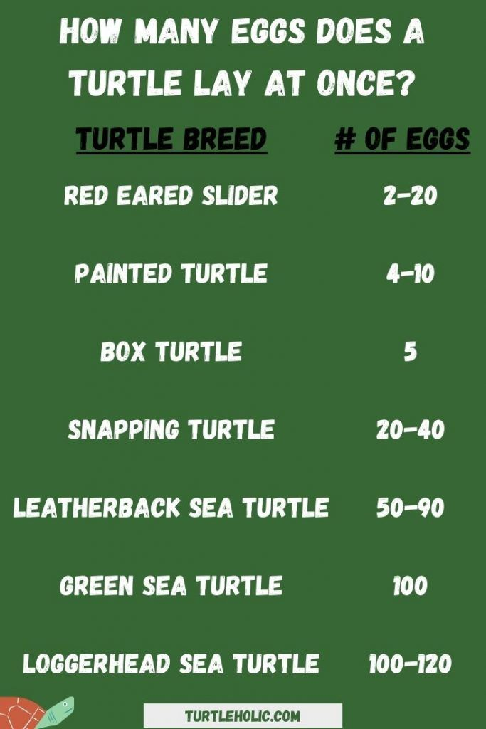 How many eggs does a turtle lay at once?