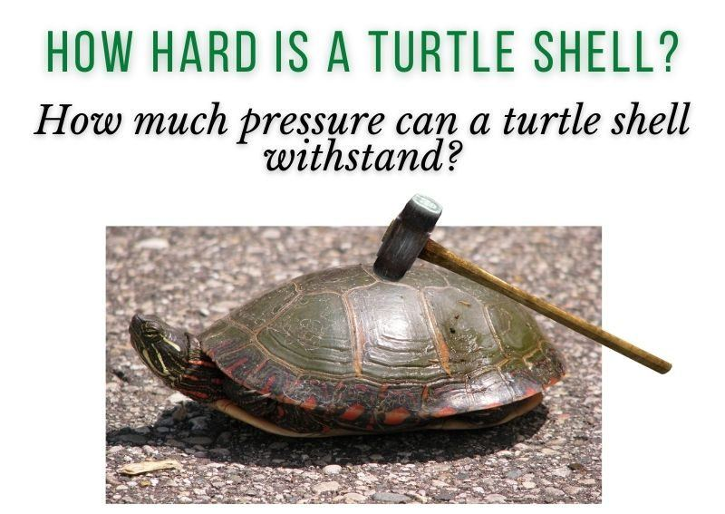 How Hard Is A Turtle Shell