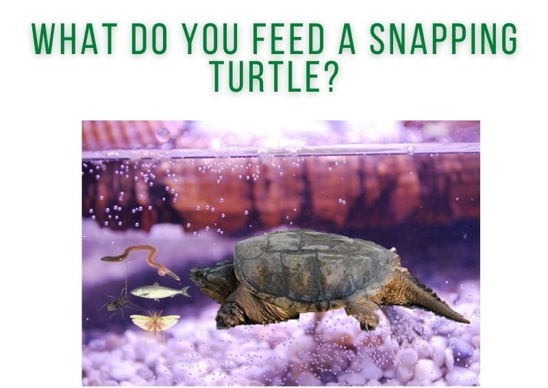 What Do You Feed a Snapping Turtle?