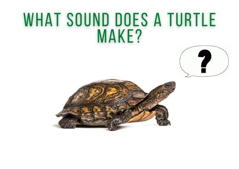 what sound does a turtle make