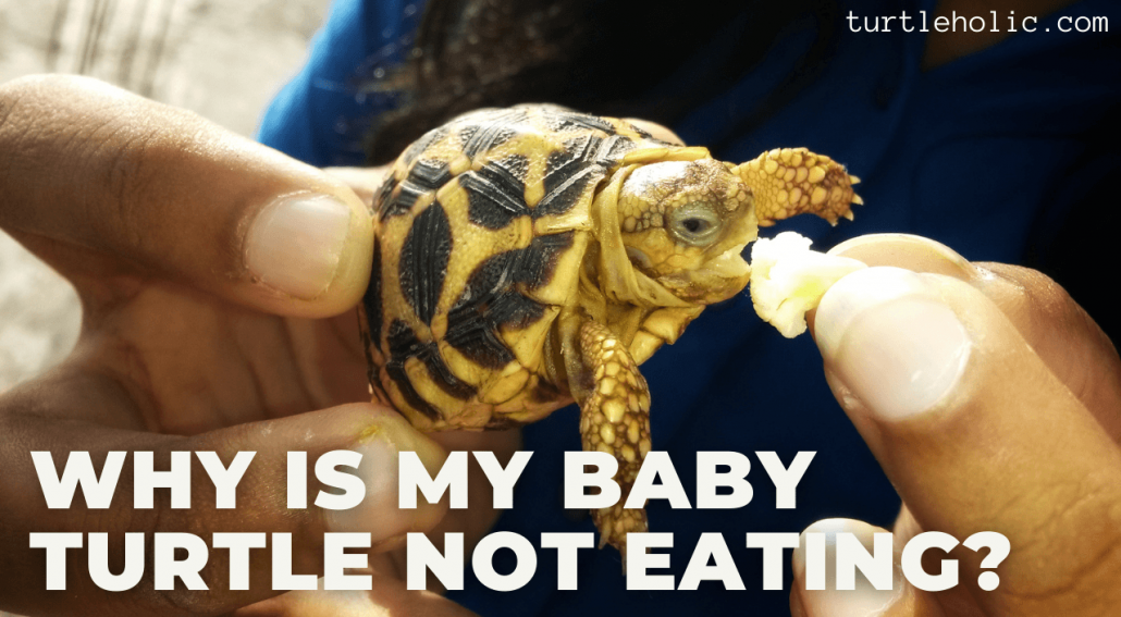 Why Is My Baby Turtle Not Eating