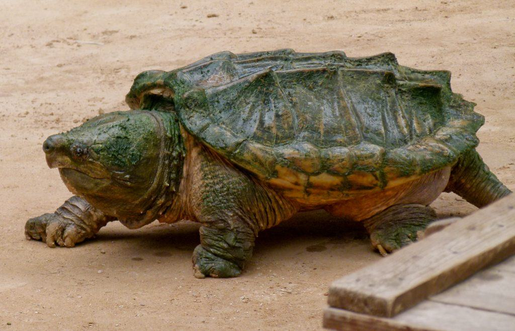 largest land turtle the alligator snapping turtle