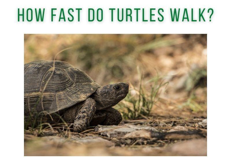 How Fast do Turtles Walk
