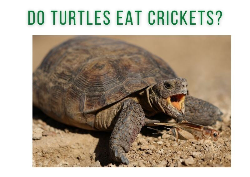 do turtles eat crickets