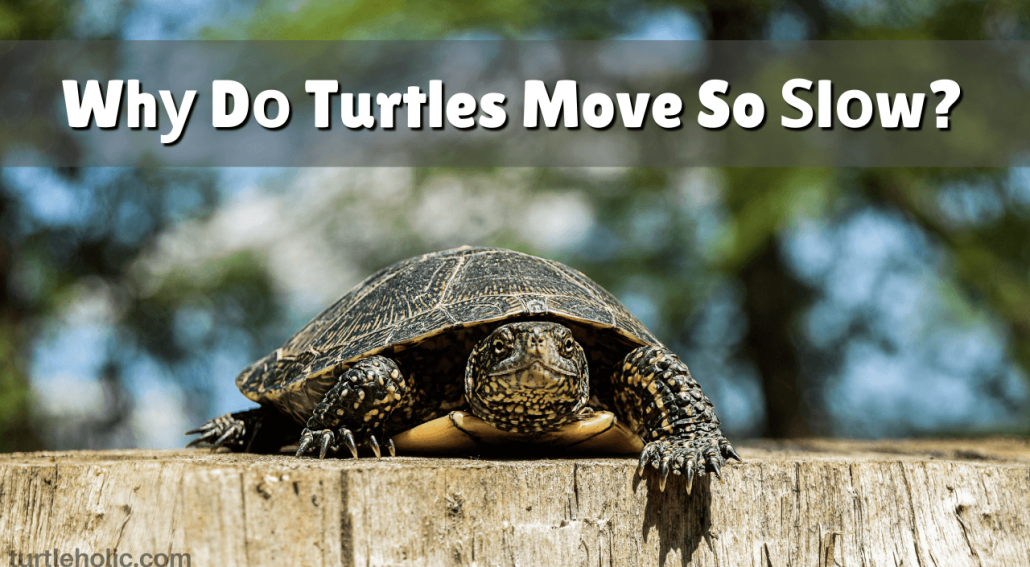 why do turtles move so slow