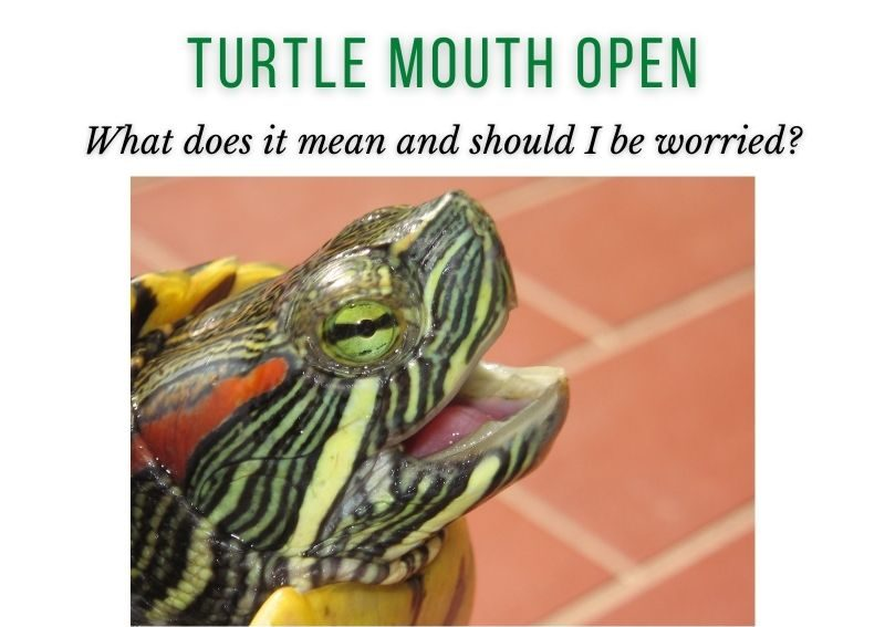 turtle mouth open