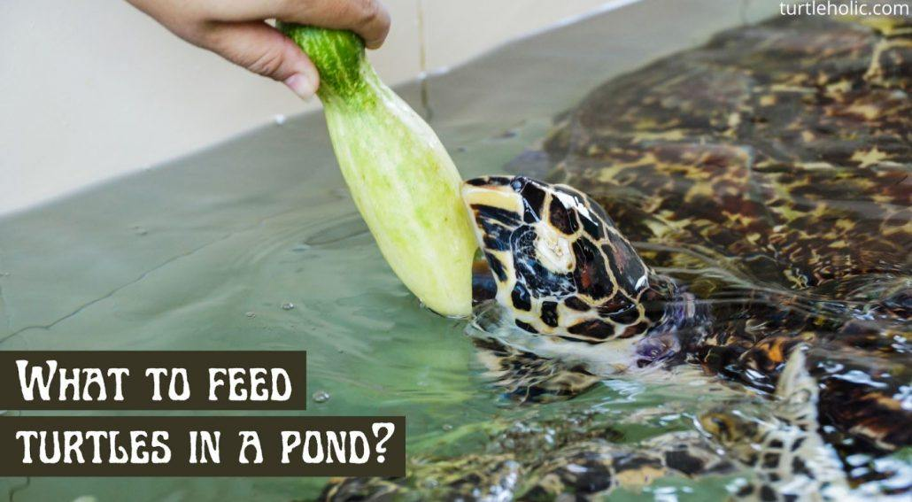 What to Feed Turtles in a Pond?