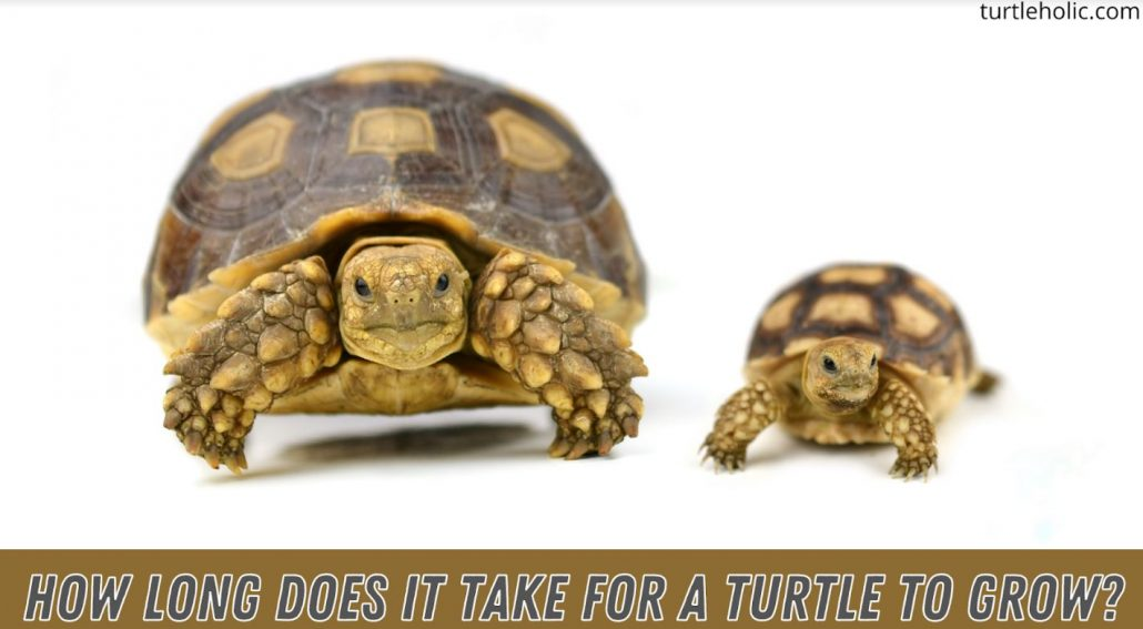 How Long Does It Take For a Turtle to Grow?