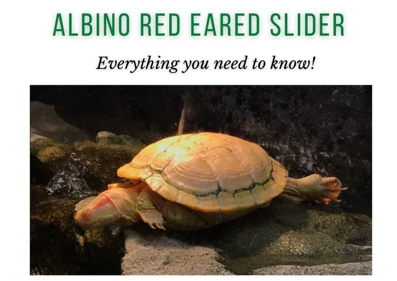 albino red eared slider