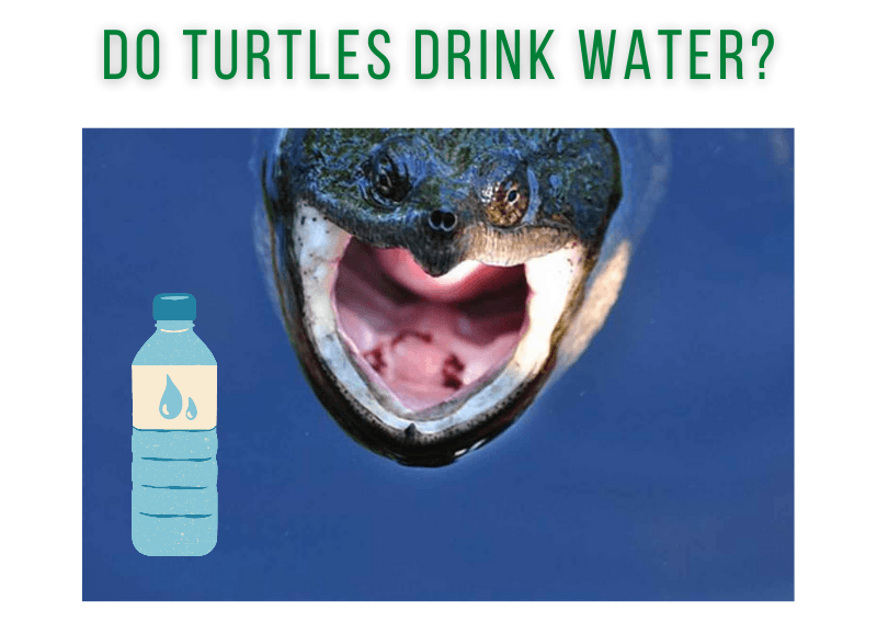 Do Turtles Drink Water