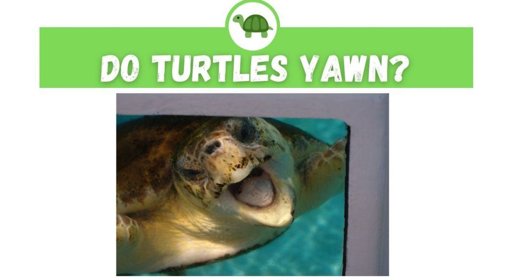 do turtles yawn