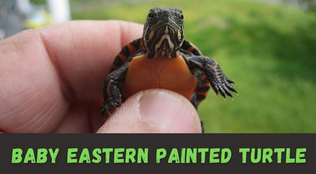 how to care for a Baby Eastern Painted Turtle