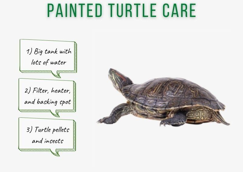 painted turtle care