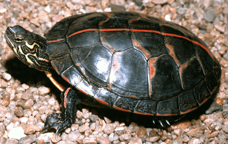 how to take care of painted turtle for beginners