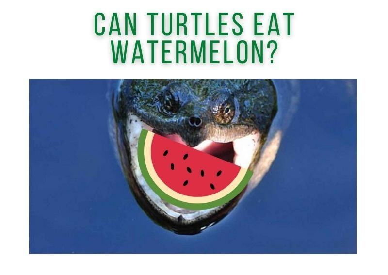 Can Turtles Eat Watermelon