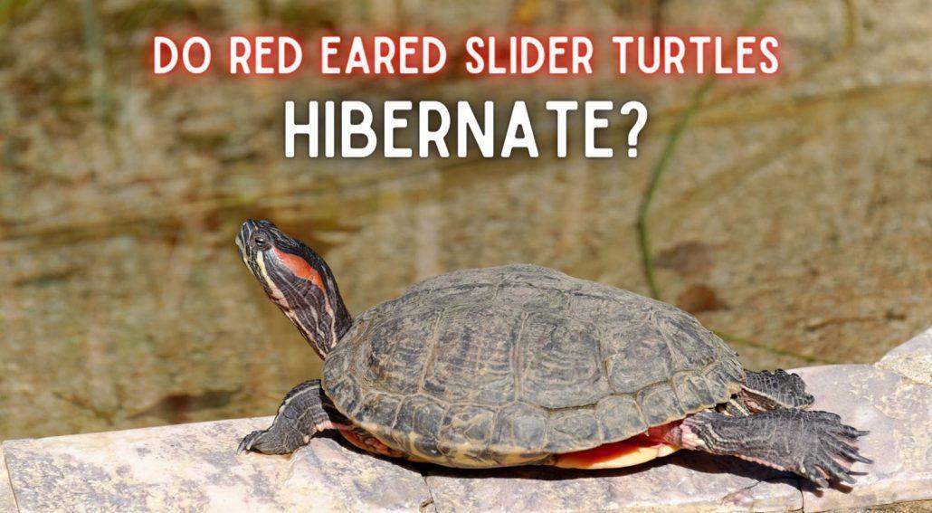 Do Red Eared Slider Turtles Hibernate