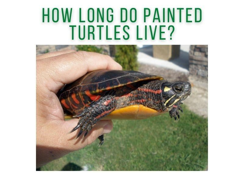 How Long Do Painted Turtles Live