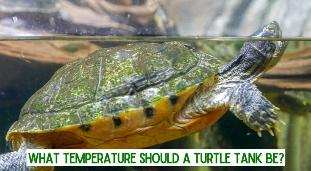 What Temperature Should a Turtle Tank Be