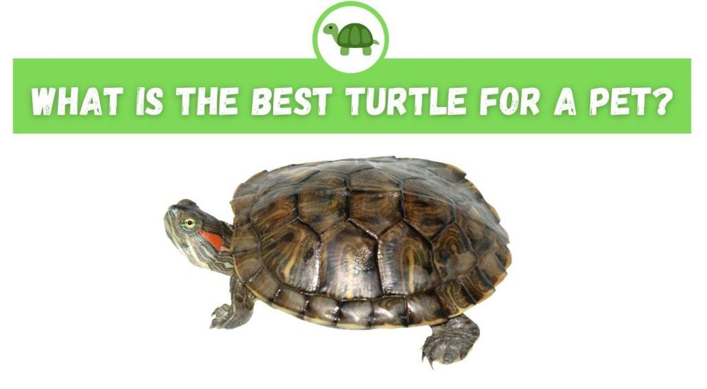 What is the Best Turtle for a Pet?