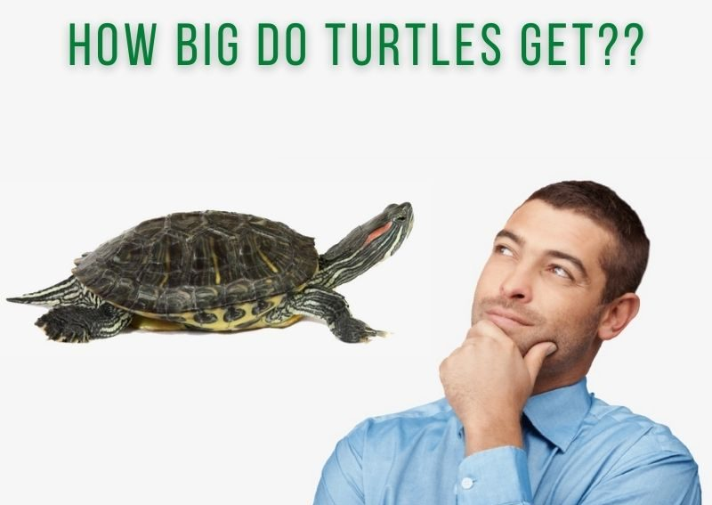 How big do turtles get