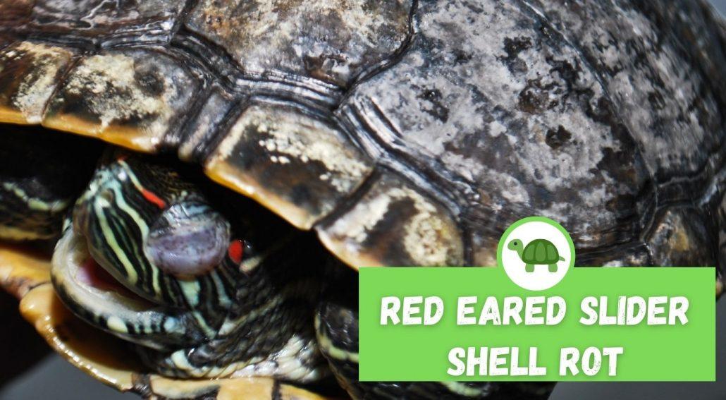 Red Eared Slider Shell Rot