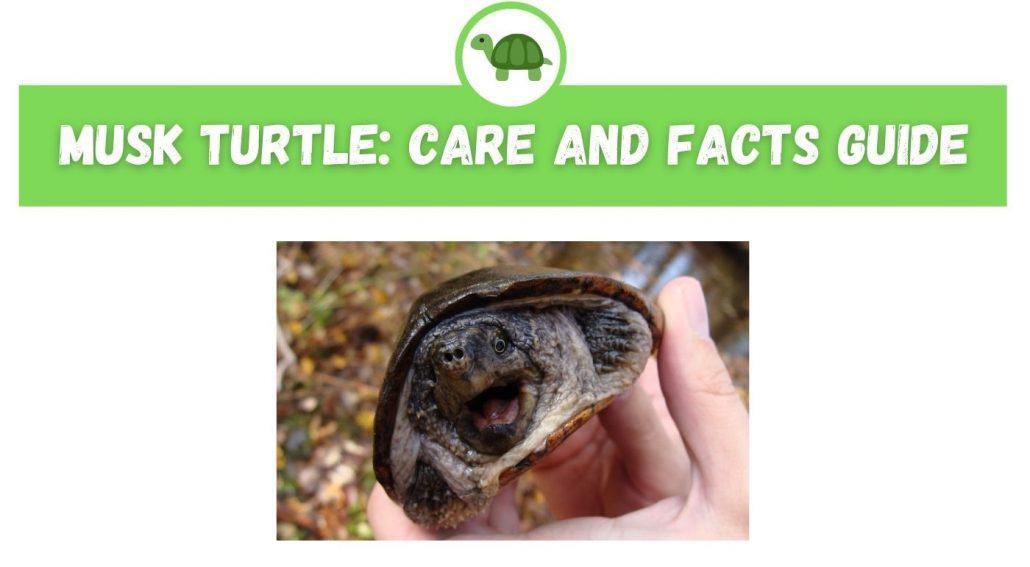 Musk Turtle Care