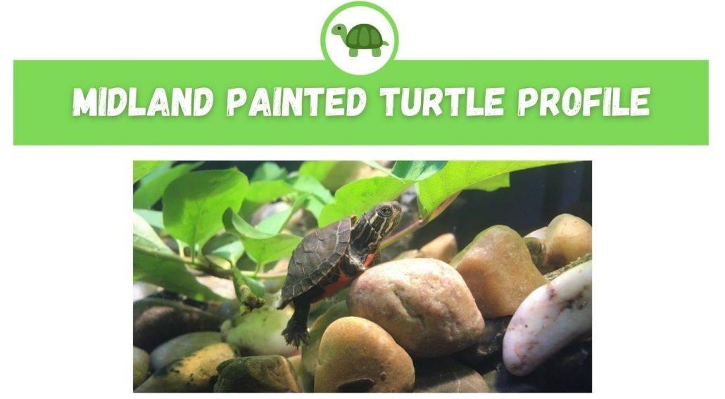 Midland Painted Turtle Profile